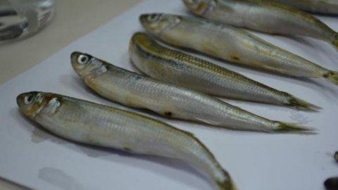 Merkez Haberleri: Karadenizdeki 2 balık türünde hastalık yapan parazit tespit edildi 100