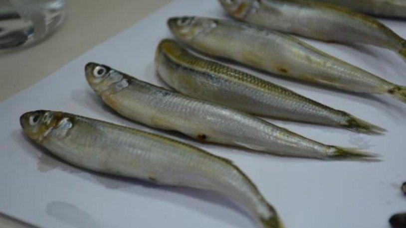 Merkez Haberleri: Karadenizdeki 2 balık türünde hastalık yapan parazit tespit edildi 37